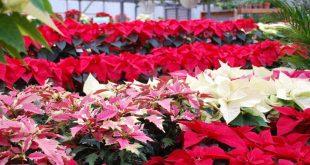 Il Racconto Della Stella Di Natale.Stella Di Natale Come Farla Durare Tutto L Anno Zoomma