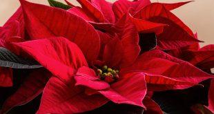 tornano le Stelle di Natale dell'Aslem